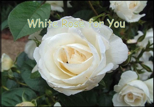 White-Rose-Day-Wishes-2016-for-Whatsapp